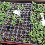 Cold injury on New Guinea impatiens cuttings.