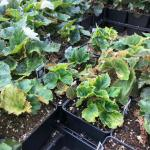 Begonias infected with INSV (J. Vance)
