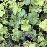 Foliar nematode symptoms on Heuchera (A. Madeiras).