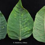 Poinsettia leaves exhibiting symptoms of latex eruption.