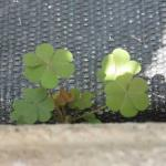 Oxalis growing on the edge of weed barrier in greenhouse