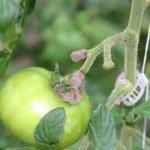 Botrytis Spores (Fungi) on Greenhouse Tomato (Leanne Pundt, UConn)