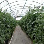 Tomatoes Grown in Containers in Free Standing Greenhouse