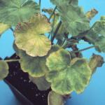 Fe/Mn Toxicity on Geraniums (photo: Douglas Cox, UMass)