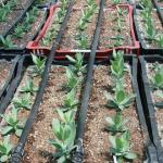 Drip system for crop growing in crates or ground beds. (photo: Tina Smith, UMass Extension)