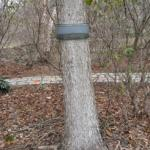 Tree wrap set up early November to congregate eggs for monitoring egg hatch in Spring