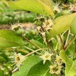 Crispie pear - fruit set