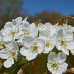 Gold Bosc pear 05/06/13 bloom