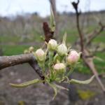 Golden russet Bosc pear 25-April, 2016