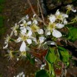 Golden russet Bosc pear 9-May, 2016