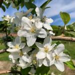 Honeycrisp apple - bloom
