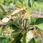 honeycrispapple052520