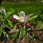 Honeycrisp apple 9-May, 2016
