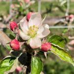 honeycrispapple051120