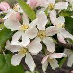 honeycrispapple051319