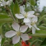 Honeycrisp apple 17-May, 2016