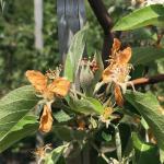 honeycrisp051821
