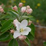 Honeycrisp apple early king bloom