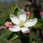 Honeycrisp apple 05/06/13 first king bloom