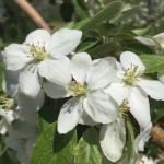 Honeycrisp apple 05/11/15 full bloom