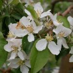Honeycrisp apple 15-May, 2017