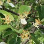 honeycrispapple052019