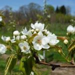 Kosui Asian pear - bloom