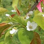 Kosui Asian pear - late bloom to petal fall