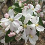 McIntosh apple 05/11/15 full bloom