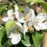 McIntosh apple - late bloom, early petal fall