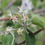 McIntosh apple - petal fall