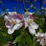 McIntosh apple 9-May, 2016