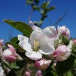 McIntosh apple 050613 king bloom