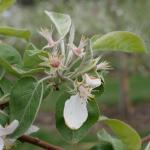 McIntosh apple 8-May, 2017