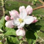 McIntosh apple - early king bloom