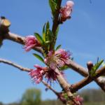 PF-14 Jersey peach - bloom to early petal fall