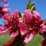 PF-14 Jersey peach 06/06/13 bloom+