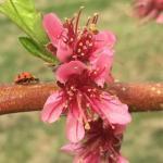 PF-14 Jersey peach 05/11/15 bloom