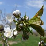 Rainier sweet cherry 05/04/15 white bud to first bloom