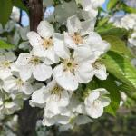 Rainier cherry - bloom