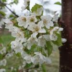 Regina cherry 17-May, 2016