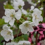 Regina cherry bloom