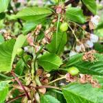 Regina cherry - very late petal fall to fruit set