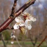 Apricot bloom plus frozen petals