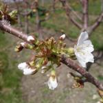 ? sweet cherry 25-April, 2016