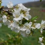 Rainier Cherry bloom