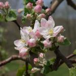 Liberty Apple king bloom
