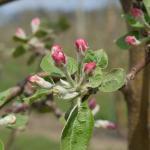Macintosh Apple pink