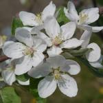 Macintosh Apple full bloom