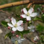 Honey Crisp Apple king bloom